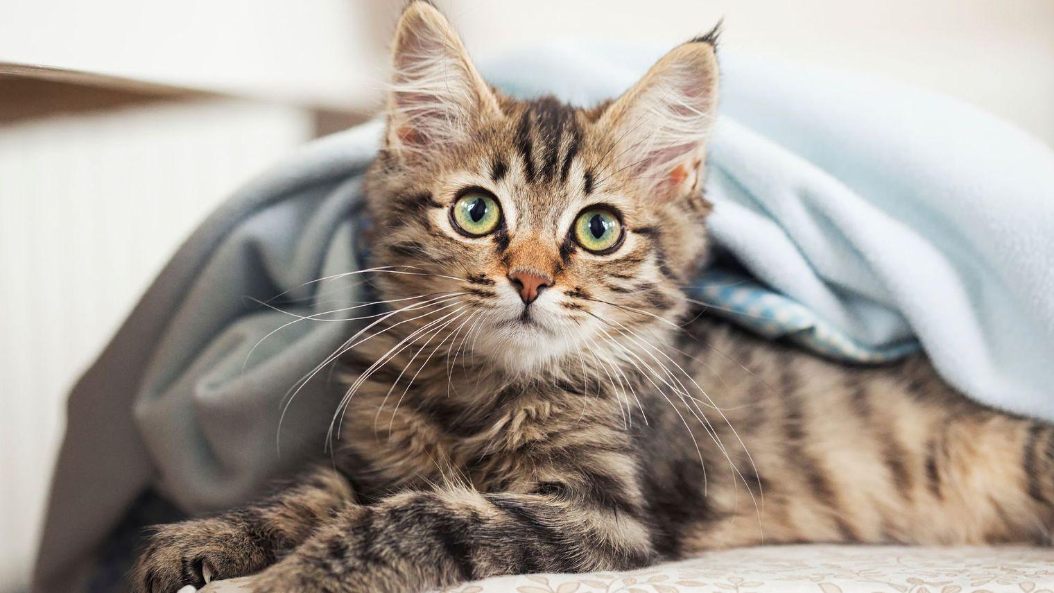 Le coryza une maladie grave chez le chat