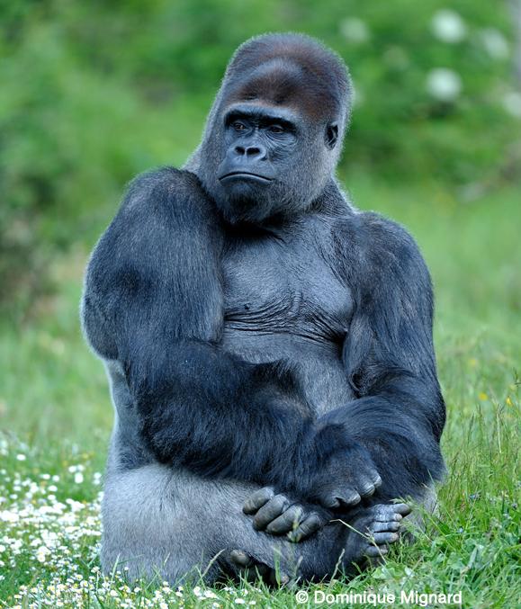 gorille, occidental, plaine