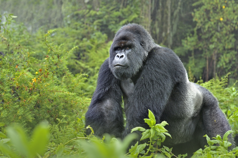 Gorille, montagne